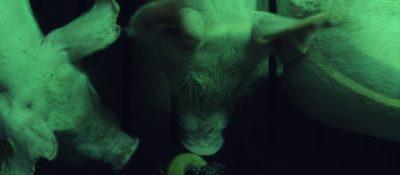Schweine in einem Mastbetrieb